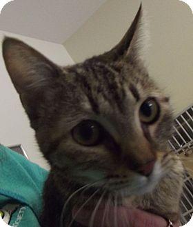 Domestic Shorthair Cat for adoption in Cheboygan, Michigan - Helena