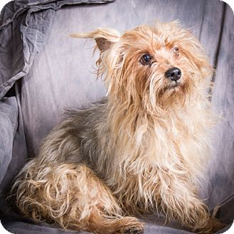 Yorkie, Yorkshire Terrier Dog for adoption in Anna, Illinois - RUSTY