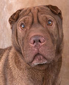 Shar Pei Dog for adoption in Chicago, Illinois - Callie