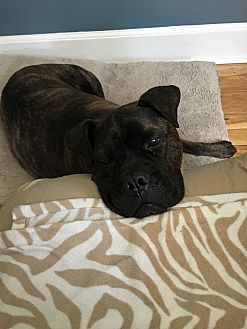 Boxer/Bullmastiff Mix Dog for adoption in Worcester, Massachusetts - Bella