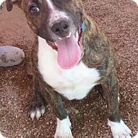 Adopt A Pet :: Parker Boo Boo - Las Vegas, NV