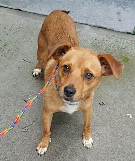 Jack Russell Terrier Mix Dog for adoption in Pottstown, Pennsylvania - Skippy
