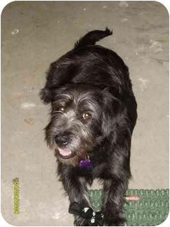 Scottie, Scottish Terrier Mix Dog for adoption in Newburgh, Indiana - Maggie Mae