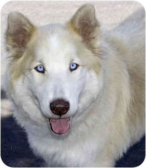 Husky Dog for adoption in Marina del Rey, California - Bear