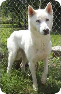 Husky/German Shepherd Dog Mix Dog for adoption in Howes Cave, New York - Delilah