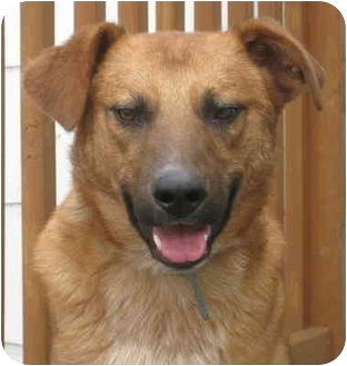Cattle Dog/German Shepherd Dog Mix Dog for adoption in Chicago, Illinois - Benny*ADOPTED!*