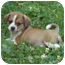 Photo 1 - Pekingese/Shih Tzu Mix Puppy for adoption in Allentown, Pennsylvania - Reese