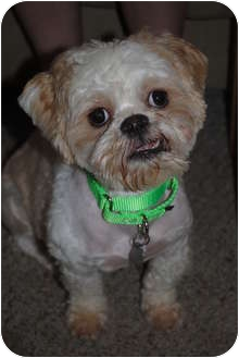 Shih Tzu/Poodle (Miniature) Mix Dog for adoption in Medford, New Jersey - Bailey