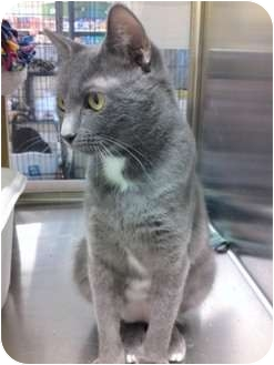 Domestic Shorthair Cat for adoption in St. Louis, Missouri - Bunny