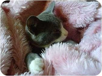 Domestic Shorthair Kitten for adoption in San Diego, California - Bleu