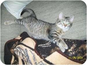 Domestic Shorthair Cat for adoption in Sheboygan, Wisconsin - Opal