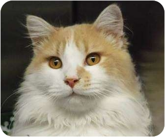Ragdoll Cat for adoption in Beverly Hills, California - Tommy