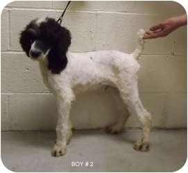 Poodle (Standard) Mix Dog for adoption in North Benton, Ohio - Sal 6 mo pup