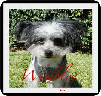 Poodle (Toy or Tea Cup)/Yorkie, Yorkshire Terrier Mix Dog for adoption in Escondido, California - Wembley