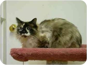 Snowshoe Cat for adoption in Saanichton, British Columbia - Mocha