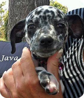 Dalmatian Puppy for adoption in Mandeville Canyon, California - Java