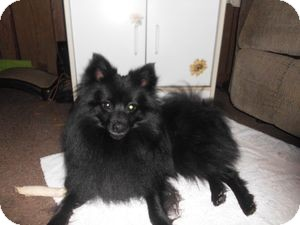 Pomeranian Dog for adoption in Greeneville, Tennessee - Yogie