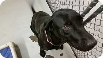Labrador Retriever/Great Dane Mix Dog for adoption in Bowie, Texas - Whitlee