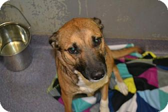 Shepherd (Unknown Type) Mix Dog for adoption in Edwardsville, Illinois - Dora