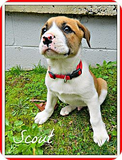 Australian Shepherd/Boxer Mix Puppy for adoption in Hensley, Arkansas - Scout