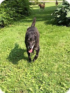 Labrador Retriever Mix Dog for adoption in Wilmington, Delaware - Stella