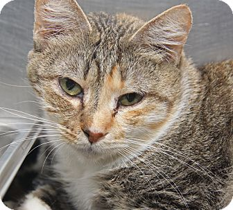 Domestic Shorthair Cat for adoption in Marietta, Ohio - Toffee Mocha (Spayed)