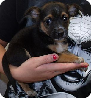 Cattle Dog/Chihuahua Mix Puppy for adoption in Corona, California - FREDDIE