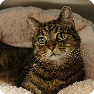 Domestic Shorthair Cat for adoption in Naperville, Illinois - Weezer