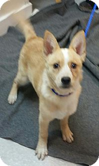 Cattle Dog/Corgi Mix Puppy for adoption in Hammonton, New Jersey - lacy
