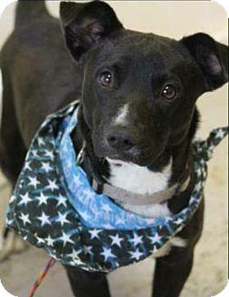 Terrier (Unknown Type, Medium)/Dachshund Mix Dog for adoption in Lebanon, Connecticut - Joel