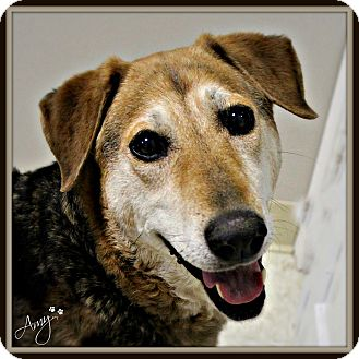 Shepherd (Unknown Type)/Hound (Unknown Type) Mix Dog for adoption in Dunkirk, New York - Amy