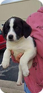 Hound (Unknown Type) Mix Puppy for adoption in Franklin, Indiana - Greg