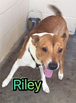Feist Mix Dog for adoption in Barnwell, South Carolina - Riley