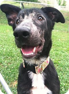 Shepherd (Unknown Type)/Collie Mix Dog for adoption in Ashland, Kentucky - Milly