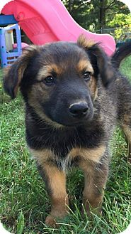 German Shepherd Dog/Terrier (Unknown Type, Medium) Mix Puppy for adoption in WESTMINSTER, Maryland - Danny