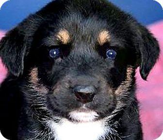"""Labrador Retriever/Australian Shepherd Mix Puppy for adoption in Wakefield, Rhode Island - MISS SAGE(OUR """"SPICE"""" PUPPY!!"""