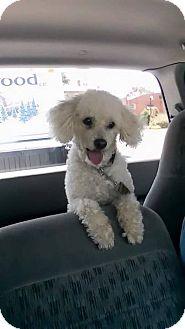 Poodle (Toy or Tea Cup) Dog for adoption in Charlotte, North Carolina - Sam