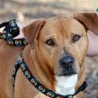 American Bulldog/Boxer Mix Dog for adoption in Jackson, Mississippi - MC
