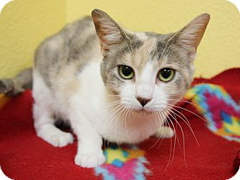 Domestic Shorthair Cat for adoption in Benbrook, Texas - Miss Mew