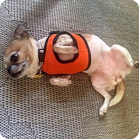 Adopt A Pet :: Cheezit - Austin, TX