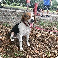 Adopt A Pet :: Bailey Rae - Tampa, FL
