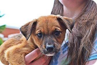 Labrador Retriever/Beagle Mix Puppy for adoption in Manassas, Virginia - Dahlia