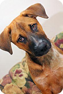 Shepherd (Unknown Type)/Australian Cattle Dog Mix Puppy for adoption in Fort Atkinson, Wisconsin - Holden