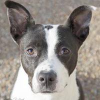 Adopt A Pet :: Bella - Noblesville, IN
