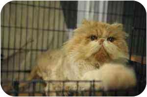 Persian Cat for adoption in Farmington, Michigan - Samuel: PUREBRED, FLAMEPOINT