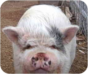 Pig (Potbellied) for adoption in Las Vegas, Nevada - Dave