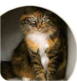 Domestic Longhair Cat for adoption in Portland, Oregon - Precious