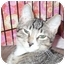 Photo 3 - Domestic Shorthair Kitten for adoption in Colmar, Pennsylvania - Burt