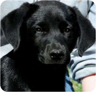 "Labrador Retriever Mix Puppy for adoption in Wakefield, Rhode Island - APOLLO(OUR ""LAB PETITE""!!)"