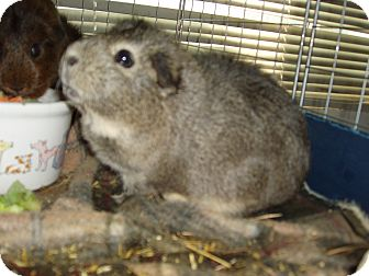Guinea Pig for adoption in St Johns, Florida - Cookie